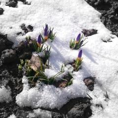 Крокусы пробиваются из под снега