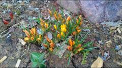 Полянка крокусов в вечернем цвете