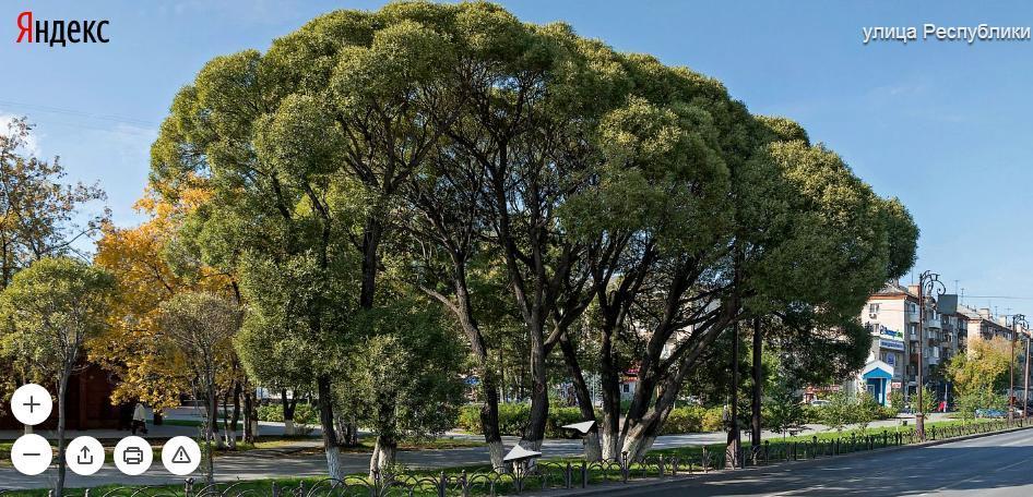 дерево4.JPG
