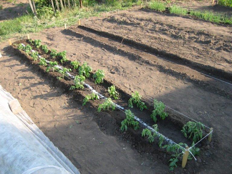 malenkie-pomidory-cherri-sorta-foto17-768x576.jpg