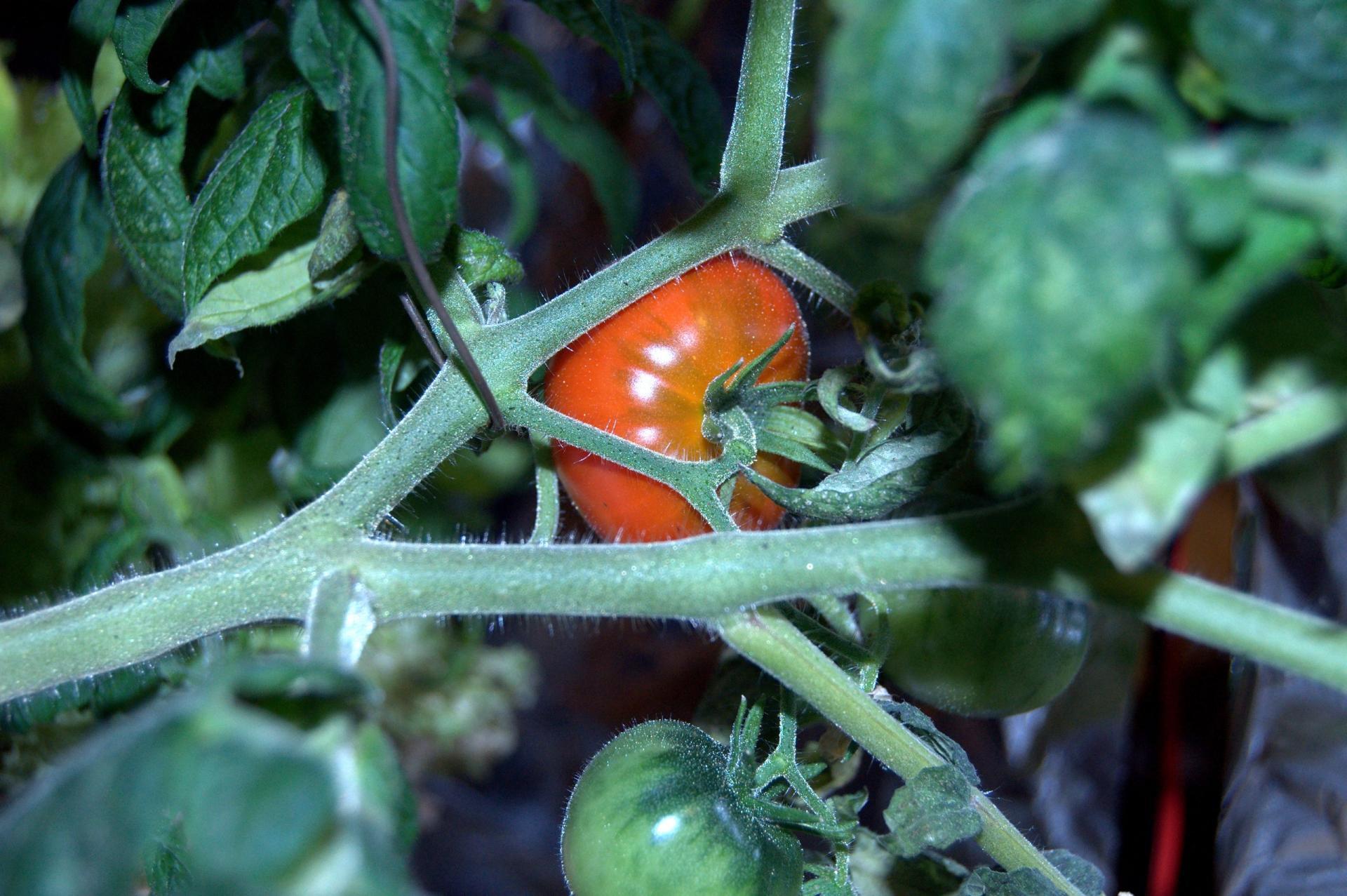 3_tomat.thumb.jpg.f51c66f0e4d2e945b1246d