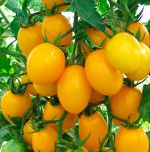 томат золото востока.jpg