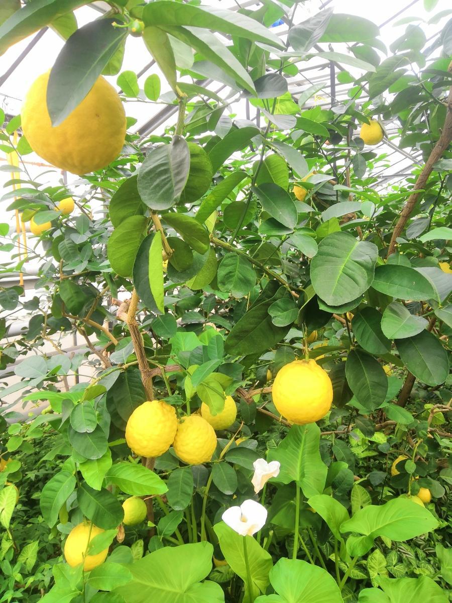 Лимонарий под ключ