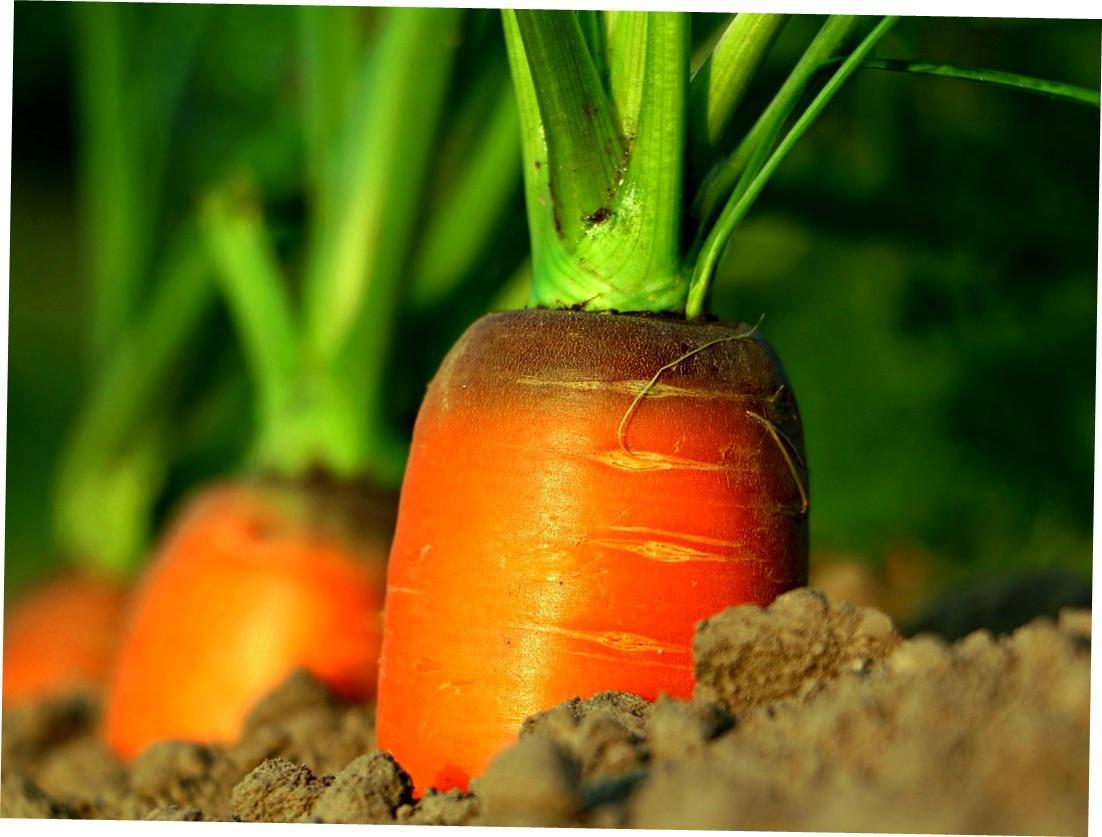 carrot-markovka_2020.jpg