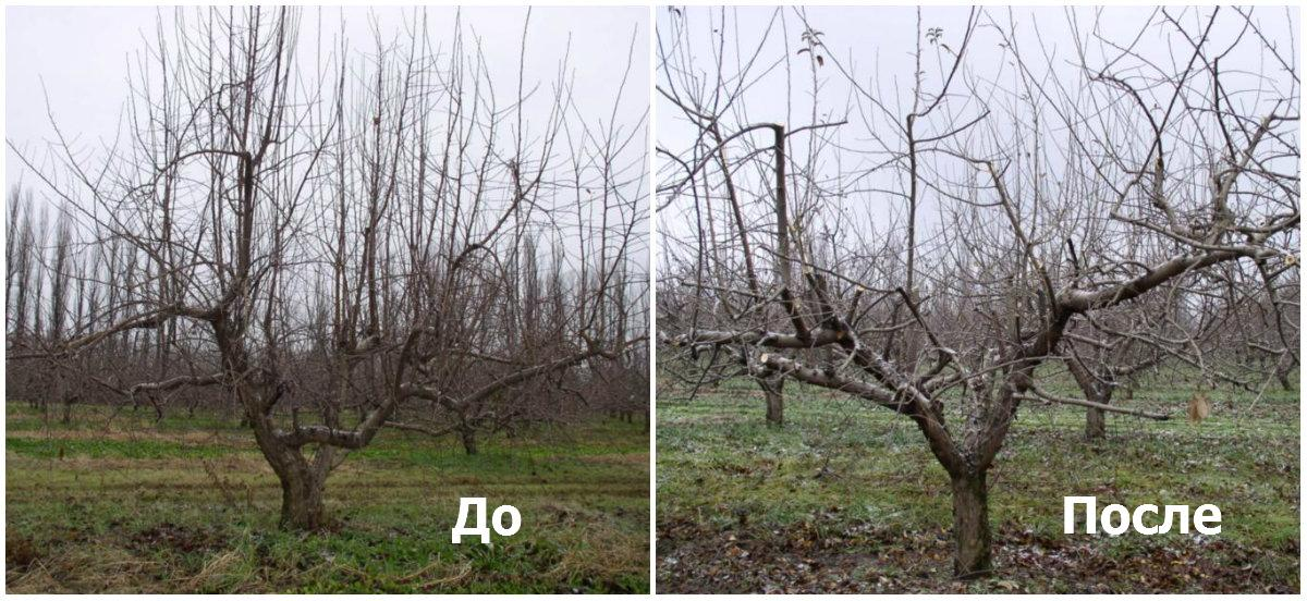 Дерево до и после обрезки