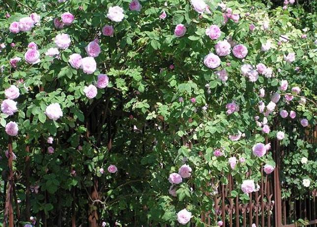 Живая изгородь из чайной розы - отличное украшение участка