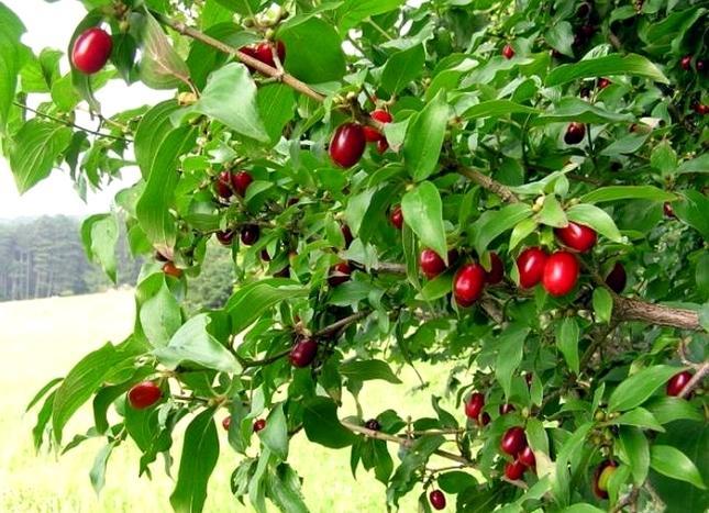 Кизил хорош не только в живой изгороди, но и как садовая культура