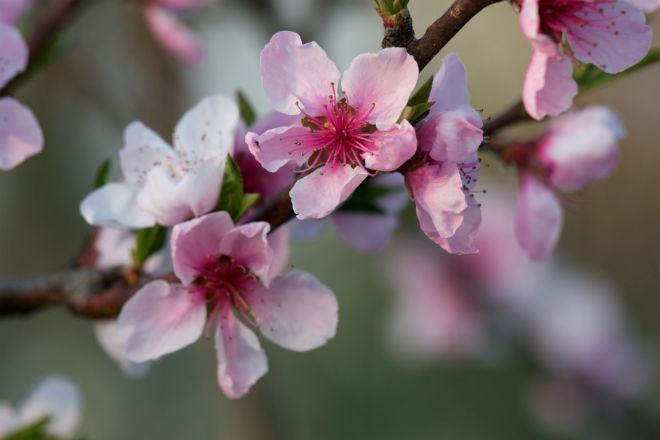 8 условий для хорошего роста персика в средней полосе | В ... Перегной из Листьев