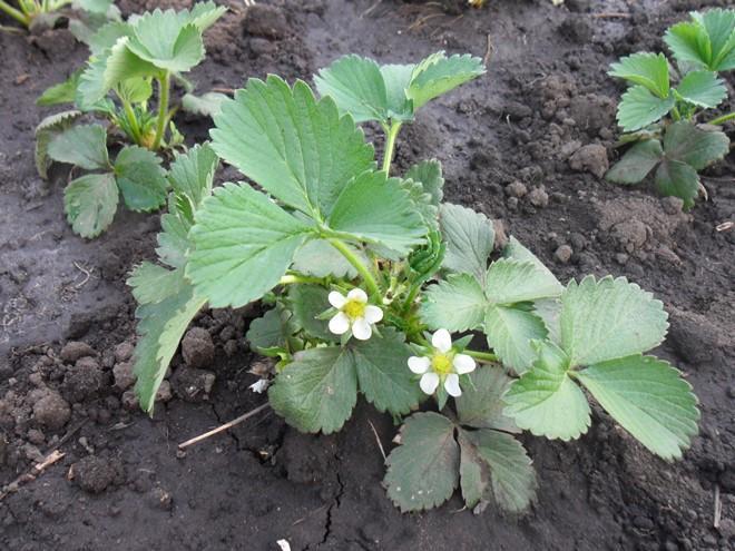 Подкормка клубники во время цветения и плодоношения Чем