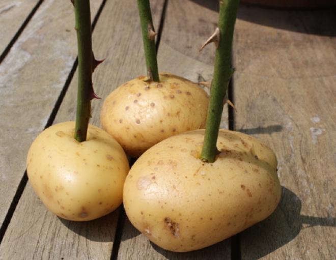 visushennie-stebli-sladkogo-kartofelya-seks