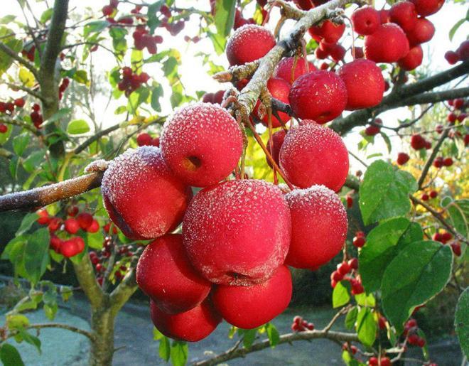 Можно ли прививать яблоню летом и как это сделать