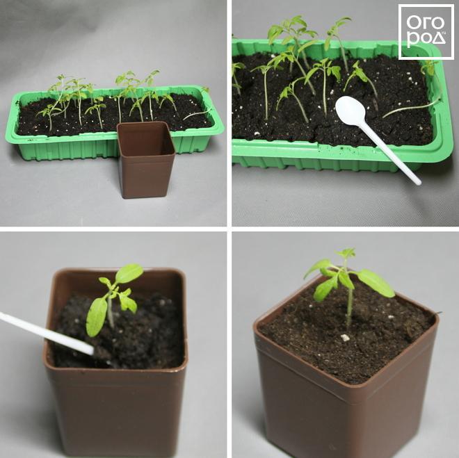 Пикировка помидоров