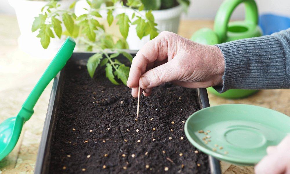 Как правильно сеять семена томатов