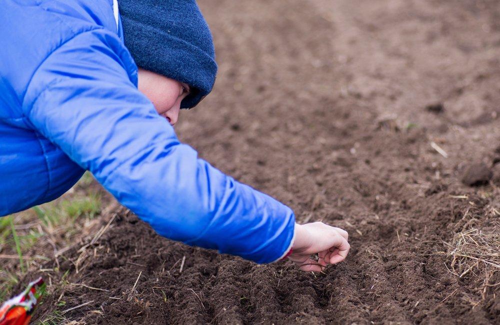 Как посеять свеклу и морковь осенью