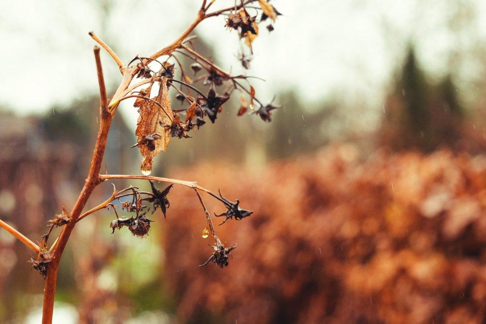 Засохшая малина осенью