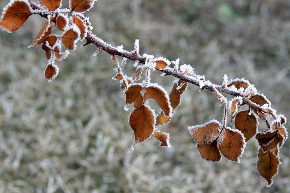 Замерзшие листья на ветке