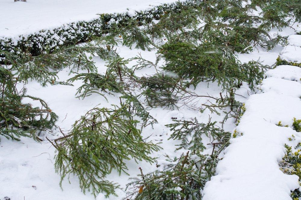 Мульча из лапника и снега