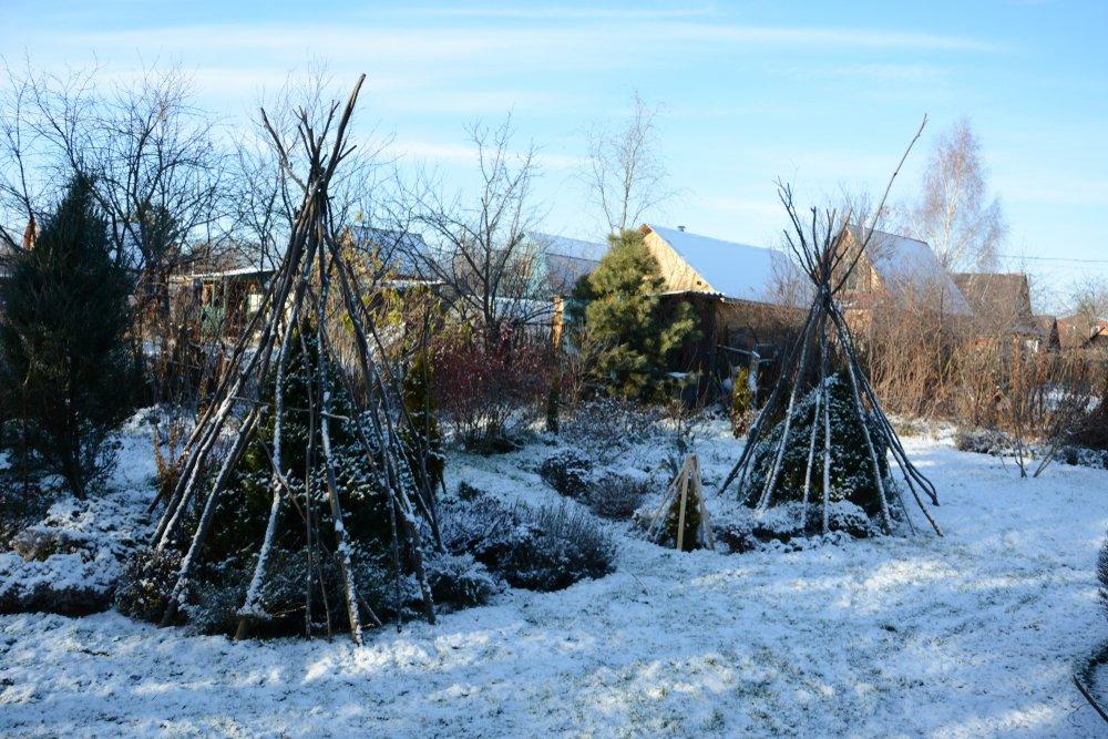 Зимнее укрытие хвойных растений