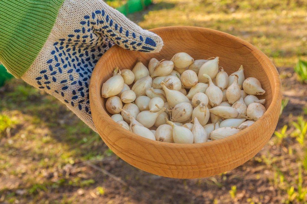 посев луковиц