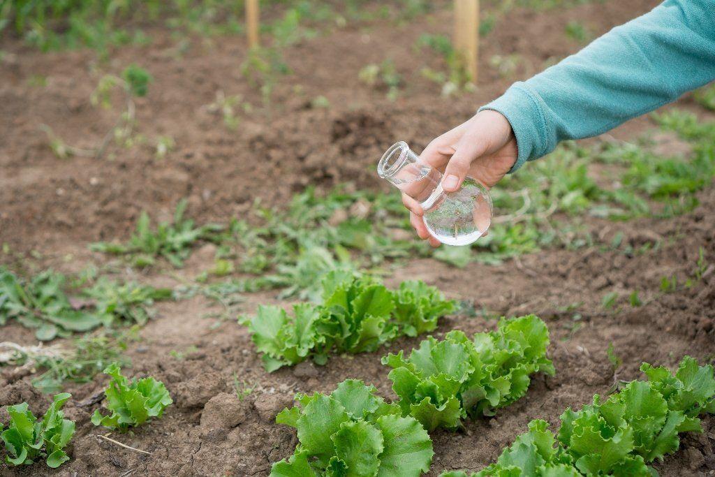 Салат посеять листовой 81