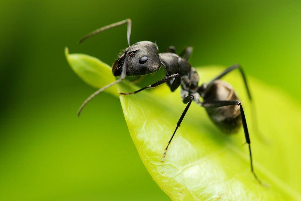 садовый муравей