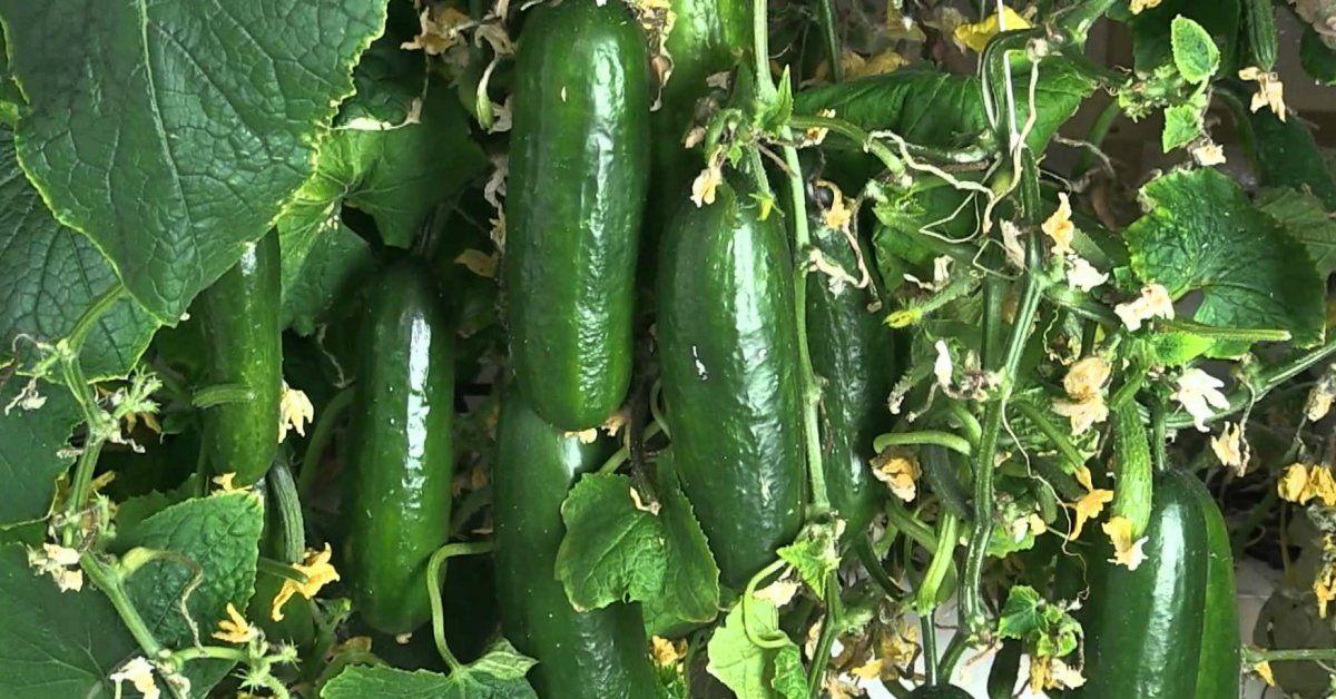 Огурцы на гидропонике технология выращивания в домашних условиях