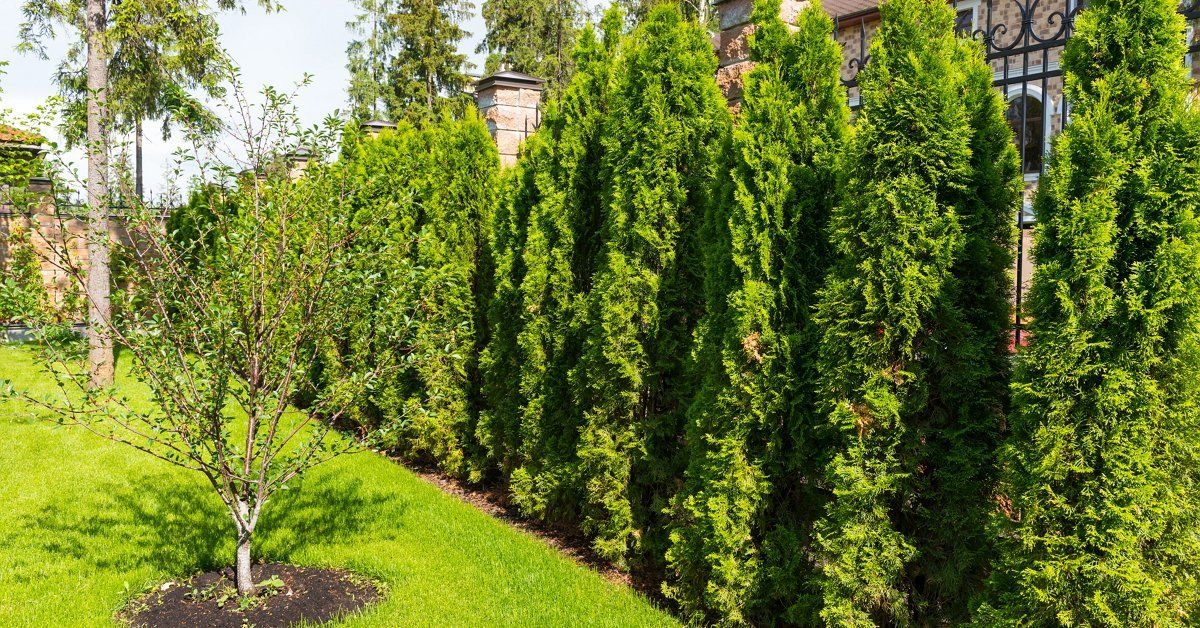Сорта туи западной – фото, описание растения