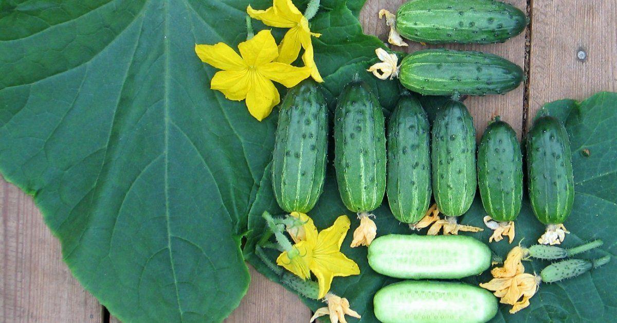 Огурец Настя F1 описание и характеристика сорта мнение садоводов с фото