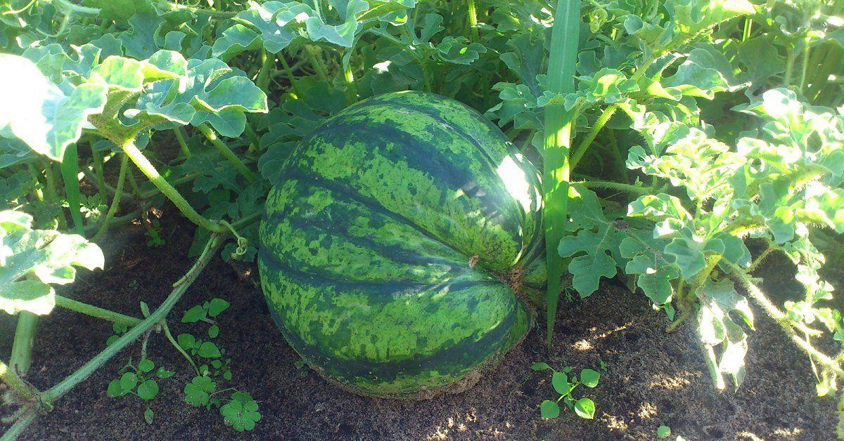 Арбуз фотон описание сорта урожайность и особенности выращивания с фото
