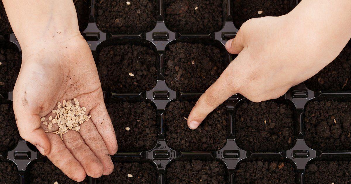 Как посадить рассаду помидор дома