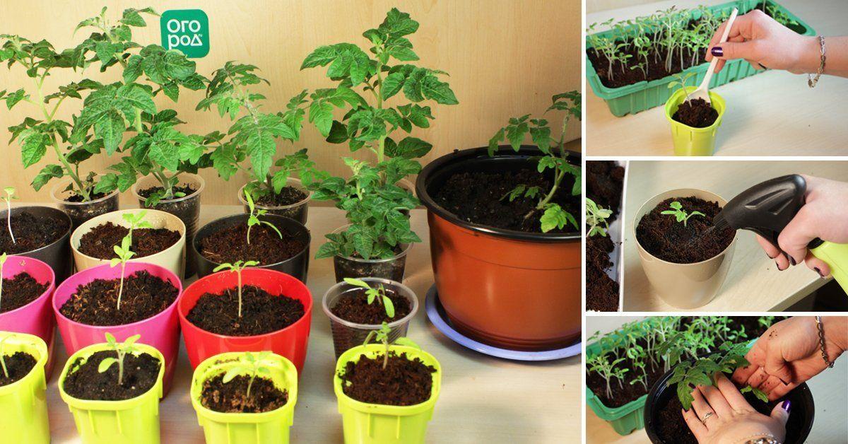 Пикировка рассады помидоров  пошаговый мастер-класс