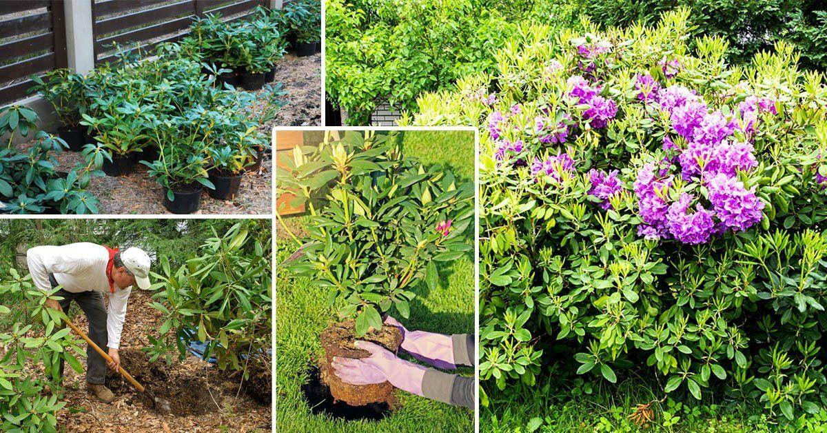 Как вырастить рододендрон даурский в своем саду