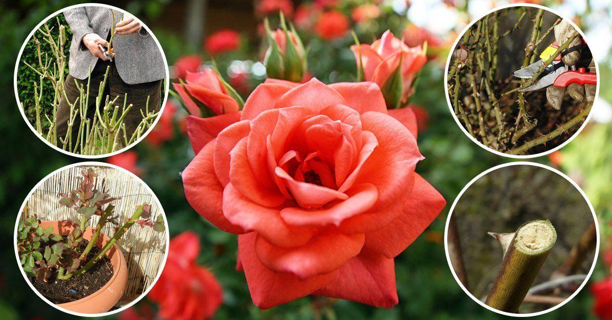Как правильно проводить обрезку роз весной