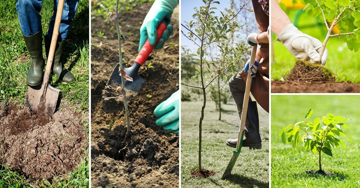 Как сажать саженцы деревьев весной