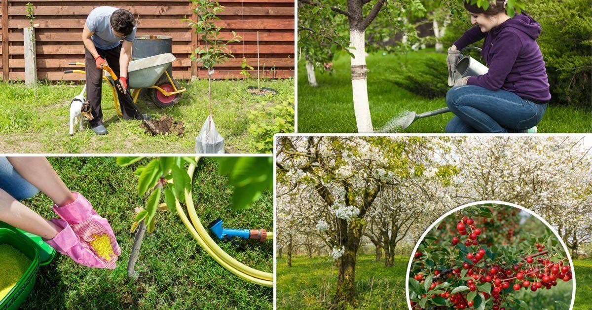 Как правильно посадить вишню осенью саженцами – пошаговая инструкция