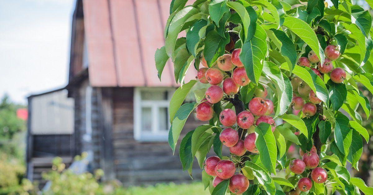 Кто сажал колоновидные яблони 301