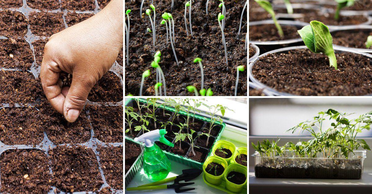 Как правильно в домашних условиях вырастить рассаду 55