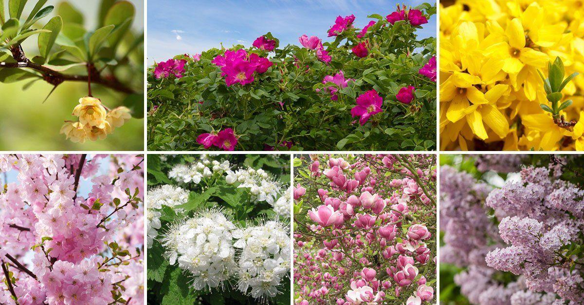 Розовый кустарник цветущий весной как называется. Цветущие кустарники-многолетники: фото с названиями