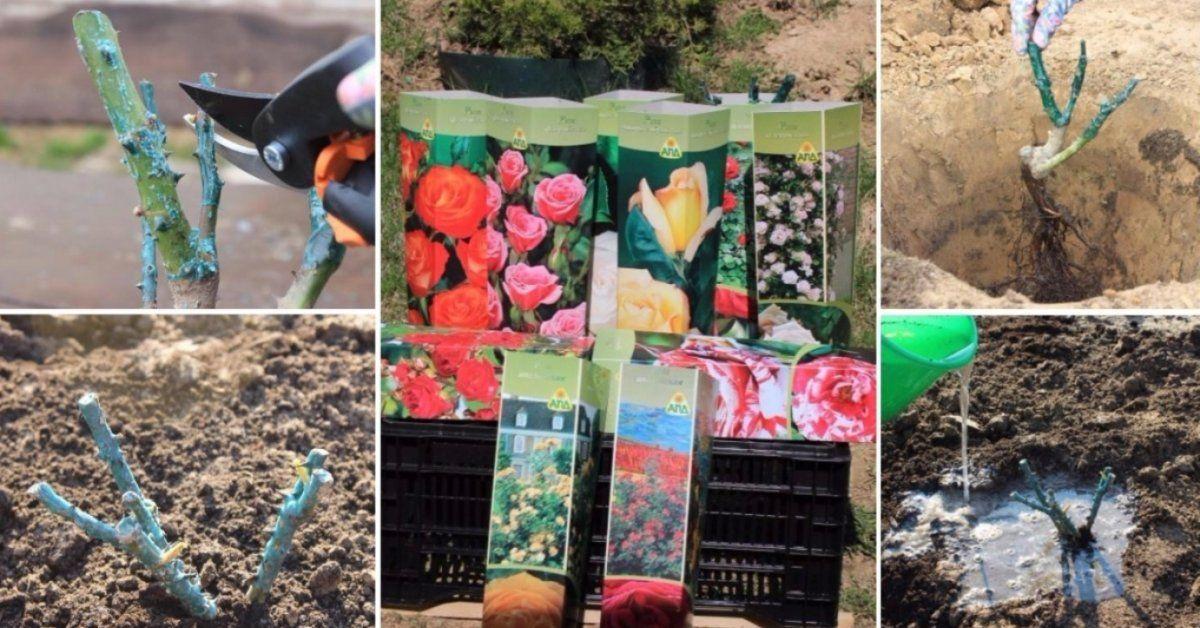 Как правильно сажать розы в грунт в фото 85