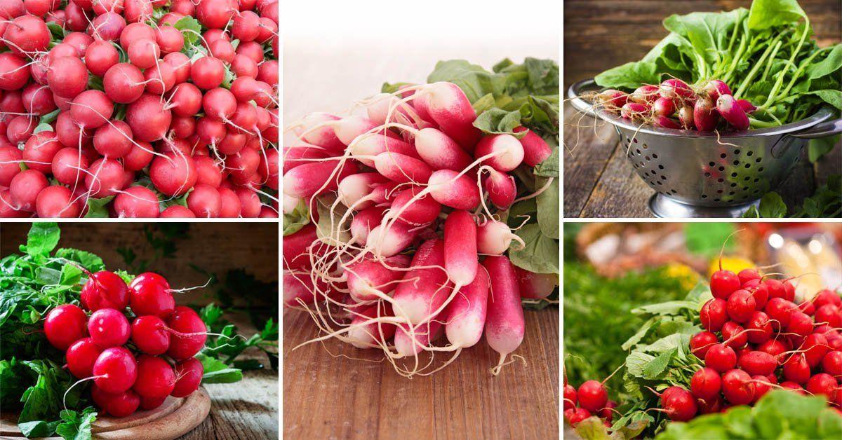Как правильно выращивать редиску в теплице и на открытом грунте