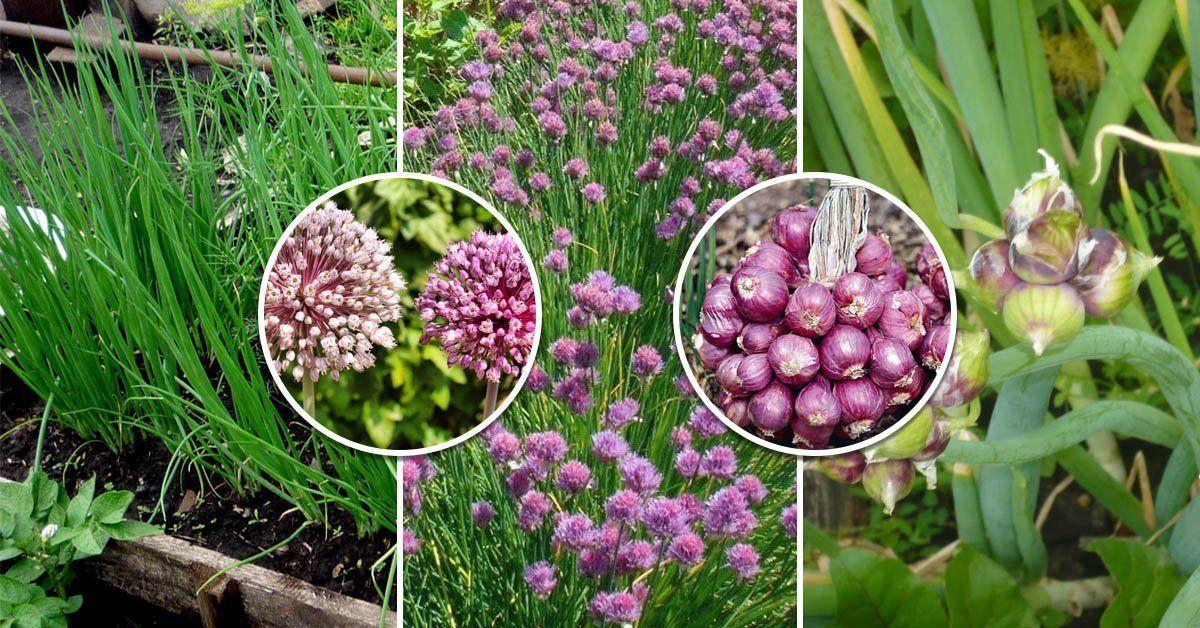Сад огород лук