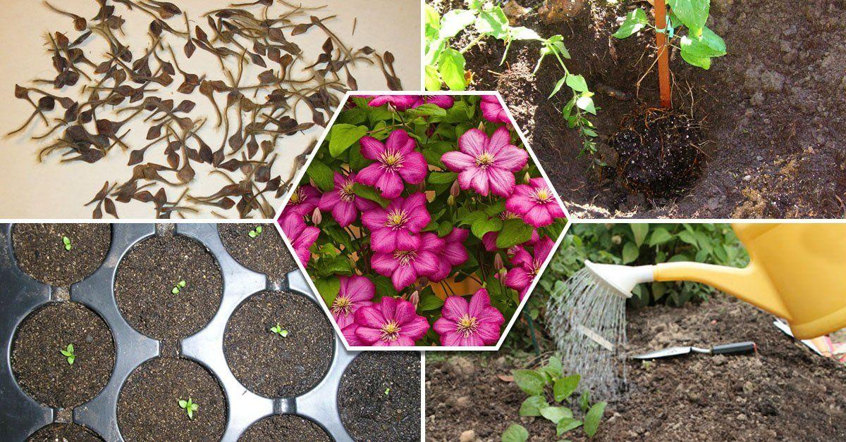 Клематисы в моем саду - Дом и сад