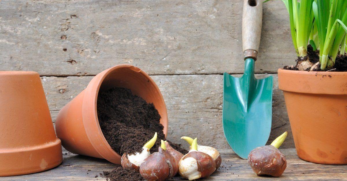 Можно ли сажать нарциссы и тюльпаны весной. Правила для луковичных. Как и когда высаживать тюльпаны и нарциссы