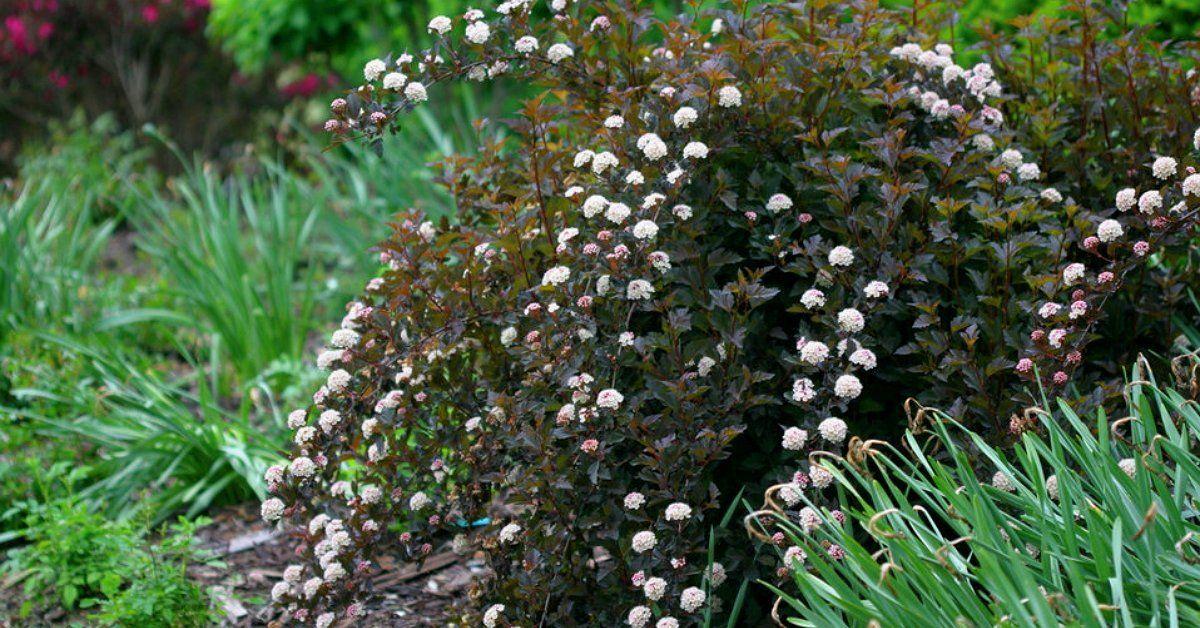 Пузыреплодник посадка и уход фото в саду — пузырник кустарниковый