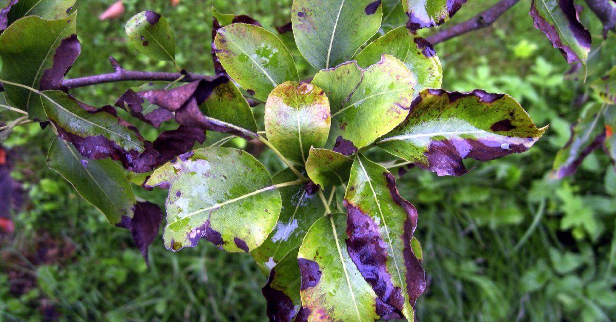 На листьях груши появились оранжевые пятна