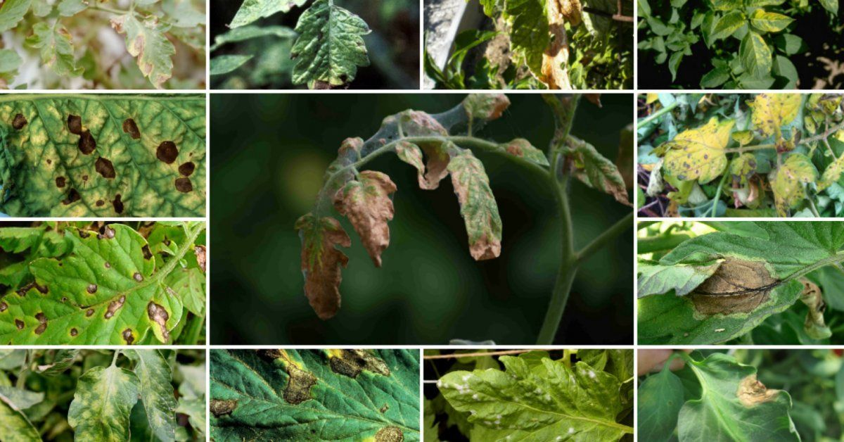 Светлые пятна на листьях томатов, белые пятна на плодах: причины появления, методы спасения и профилактические меры
