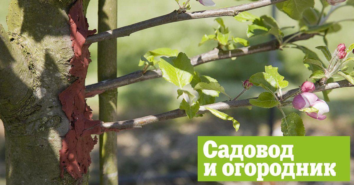 Окулировка почкой весной