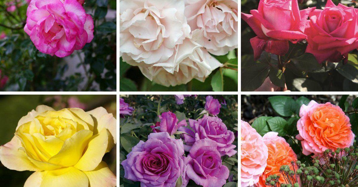 Топ-10 лучших питомников роз в мире