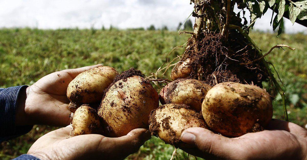 Как сохранить картошку надолго?