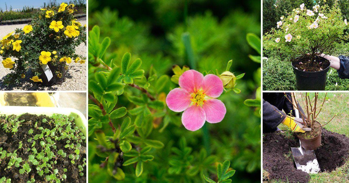 Цветок лапчатка посадка и уход